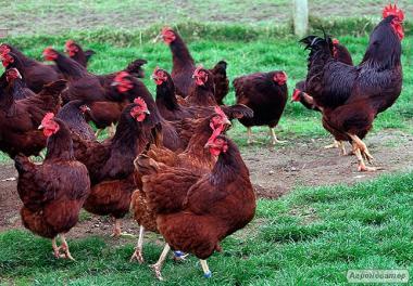Kury nieśne rasa Rodonit-2