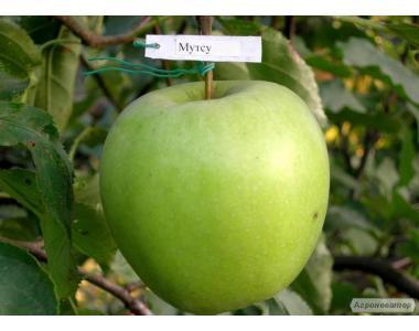 Sadzonki jabłoni, mutsu