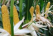 Nasiona kukurydzy, gibrid kantabris