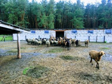 Owce  Karakuł