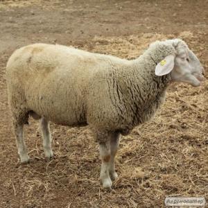 Owce  Merynosy