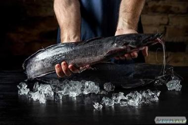Ryby słodkowodne Sum