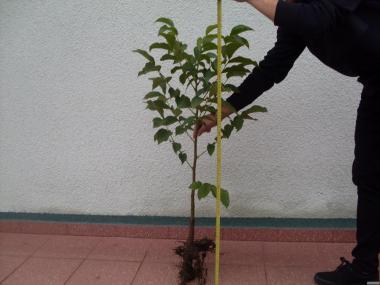 Sadzonki Orzecha Włoskiego 2-letnie lub 1-roczne