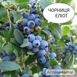 Sadzonki jagody, elliot