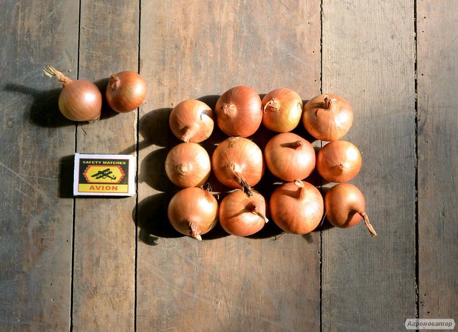 Nasiona cebuli - siewki
