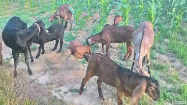Kozy  Nubijska