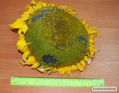 Nasiona słonecznika, gibrid antey