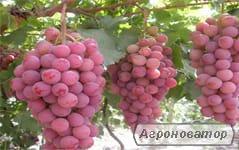 Winorośle