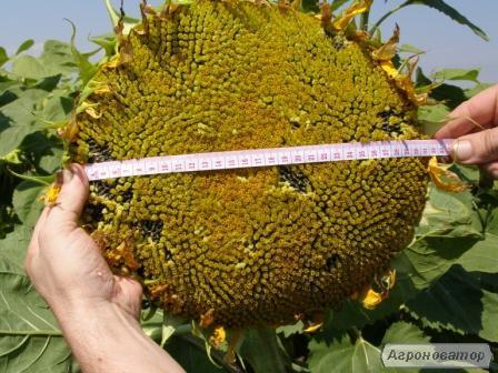 Nasiona słonecznika, gibrid zagrava