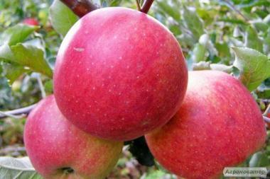 Sadzonki jabłoni, fudzhi