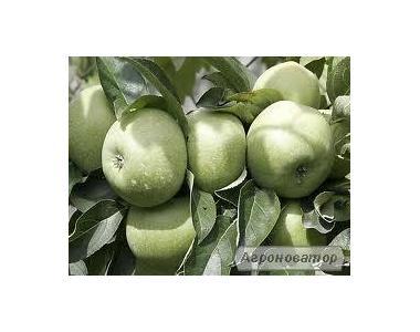 Sadzonki jabłoni, renet simirenko