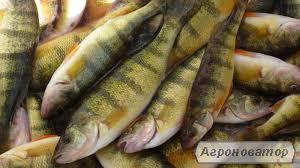 Ryby słodkowodne Okoń