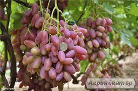 Sadzonki winogron, diaspory, preobrazhenie