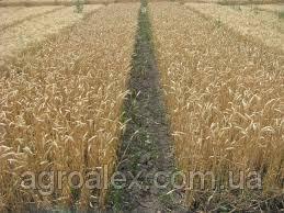 Nasiona pszenicy ozimej, magistral