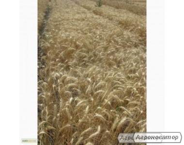 Nasiona pszenicy ozimej, odesskaya 267