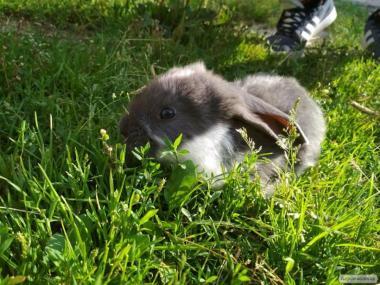 króliki rasy baran francuski