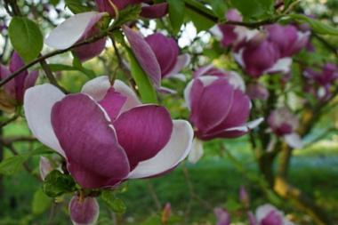 Magnolia Lennei
