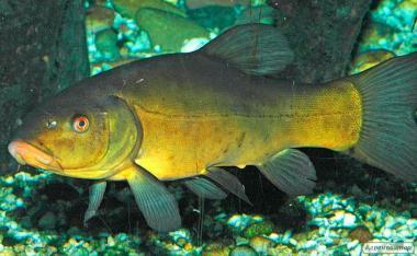 Ryby słodkowodne Lin