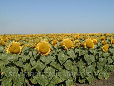 Nasiona słonecznika, gibrid arena