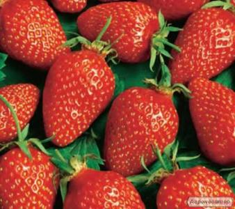 Rozsada truskawki i poziomki
