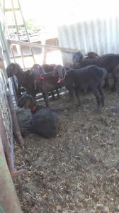 Owce  Sokólska