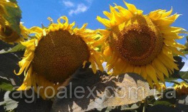 Nasiona słonecznika, gibrid ns imisan