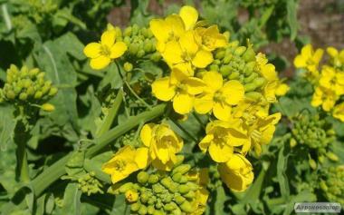 Nasiona ziół korzennych i przypraw