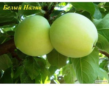 Sadzonki jabłoni, belyy naliv
