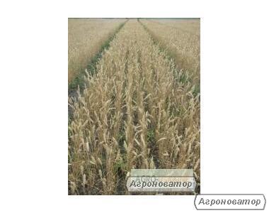 Nasiona pszenicy ozimej, nota