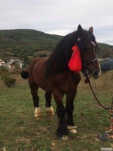 Konie ciężkie