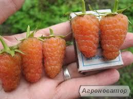 Sadzonki owocowych krzewów