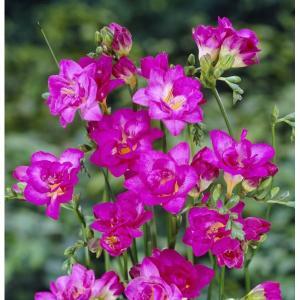 Frezja Double Pink różowa Holland 1szt