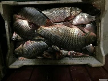 Ryby świeżo mrożone tarań