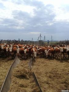 Krowy  Kazachstańska