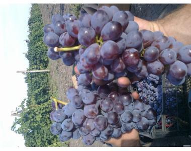 Sadzonki winogron, diaspory, izabella rozovaya