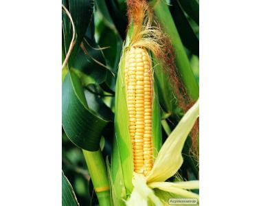 Nasiona kukurydzy, gibridy PIONEER