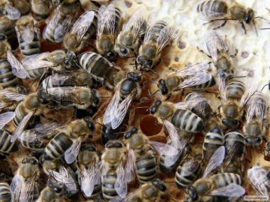 Rodziny pszczele  Ukraińska stepowa