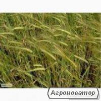 Nasiona żyta ozimowego, slobozhanec