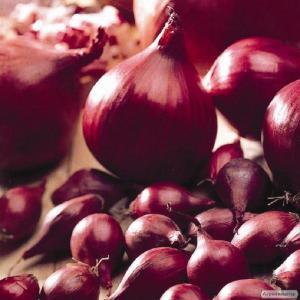 Rozsada cebuli zwyczajnej