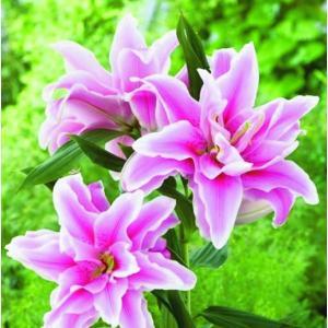 Lilia Orientalna Pełna Anouska różowa Holland 1szt