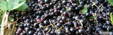 Sprzedam owoce czarnej porzeczki - konwencja, ekologia i przejściowe