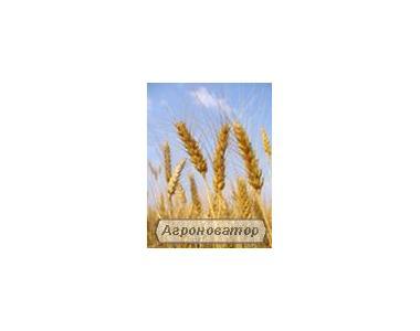 Nasiona zbóż