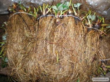 Rozsada truskawek, albion
