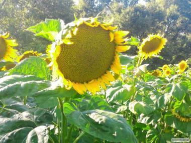 Nasiona słonecznika, gibrid rimi