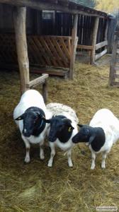 Owce  Dorper
