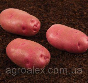 Sadzeniaki ziemniaków, kiranda