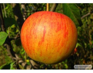 Sadzonki jabłoni, pinova