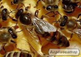 Matka pszczela  Karpacka