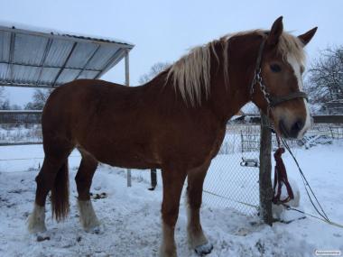 Konie ciężkie  Shire