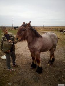 Konie ciężkie  Brabanson